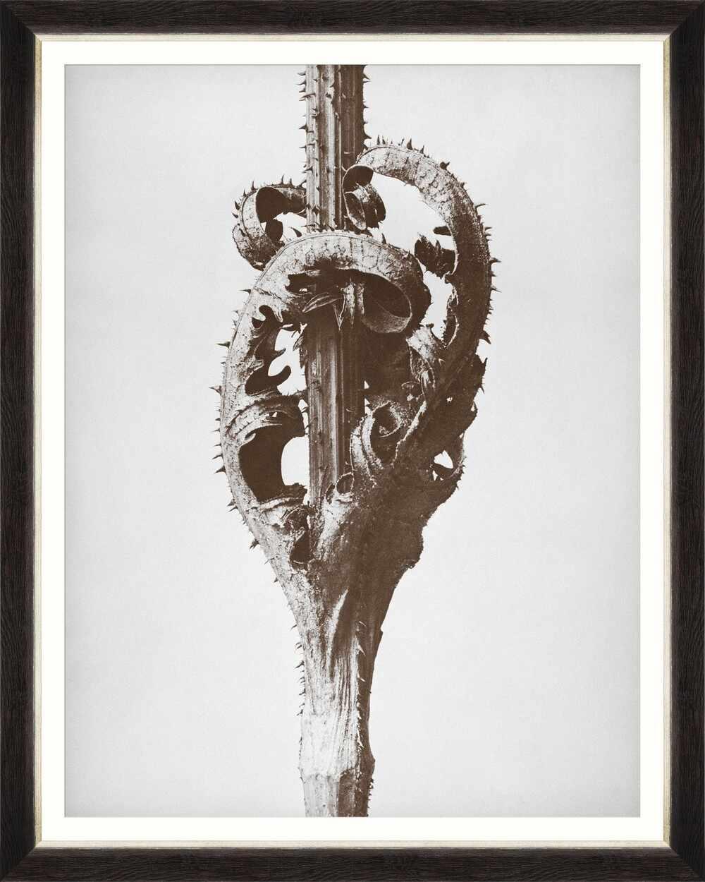 Tablou Framed Art Dipsacus Laciniatus By Blossfeldt la pret 625 lei