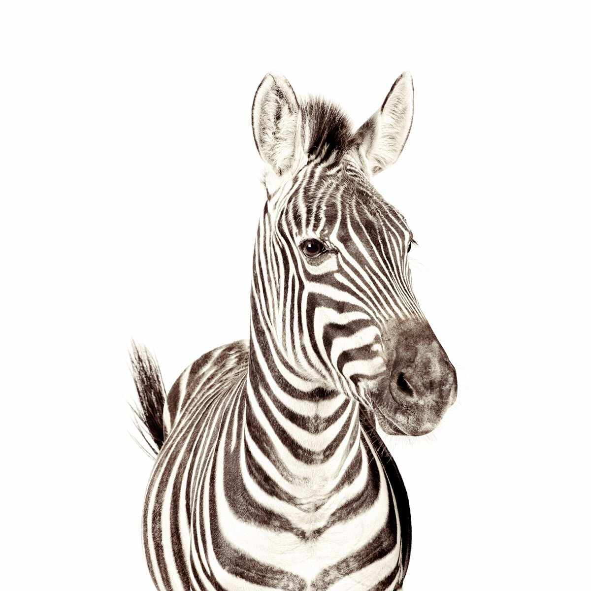 Tapet magnetic- zebra-127X265