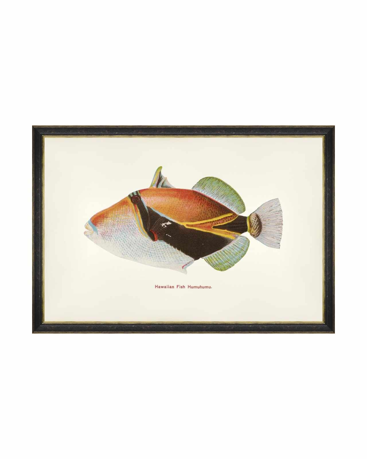 Tablou Framed Art Fishes Of Hawaii - Humuhumu Fish, 60 x 40 cm