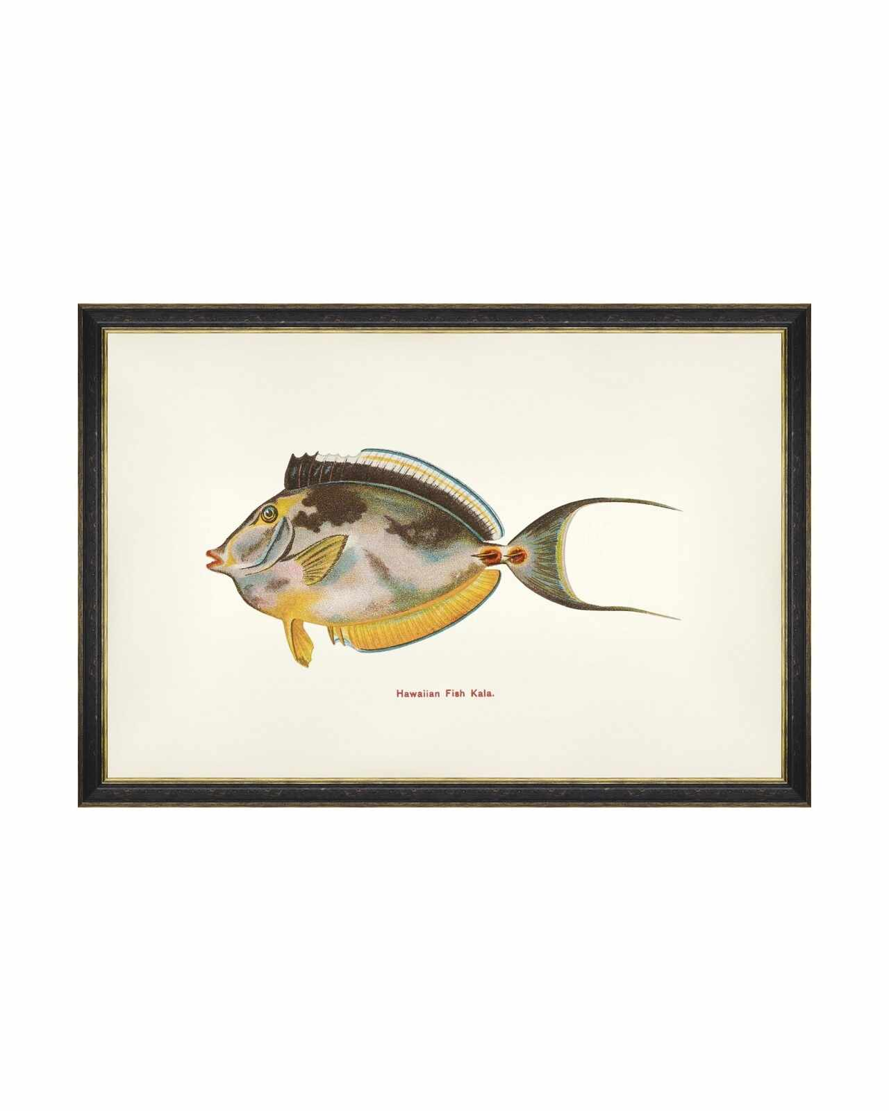 Tablou Framed Art Fishes Of Hawaii - Kala Fish, 60 x 40 cm